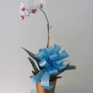 Orquidea Farinosis Blanca
